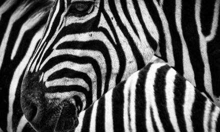 I am a zebra!